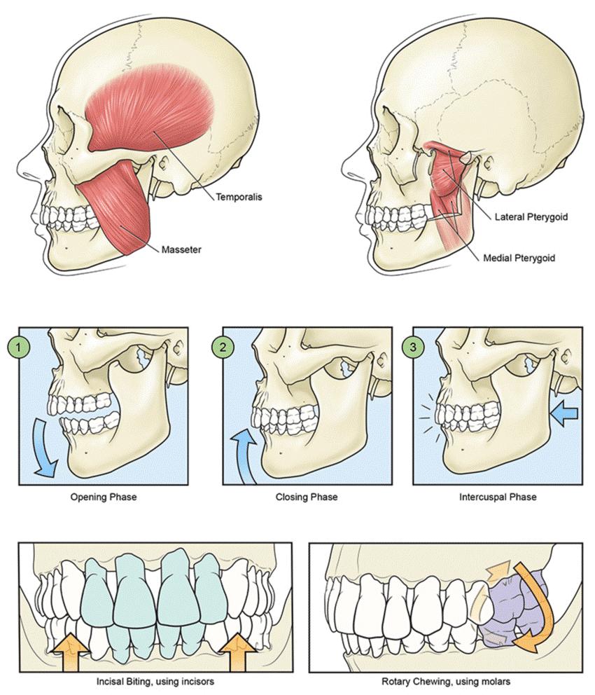 تاثیر دندانهای صاف روی گوارش