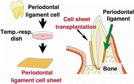 نقش سلول بنیادی در درمان ارتودنسی